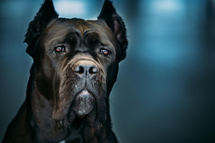 Pies rasy Cane corso na niebieskim tle i inne znane największe rasy psów na świecie
