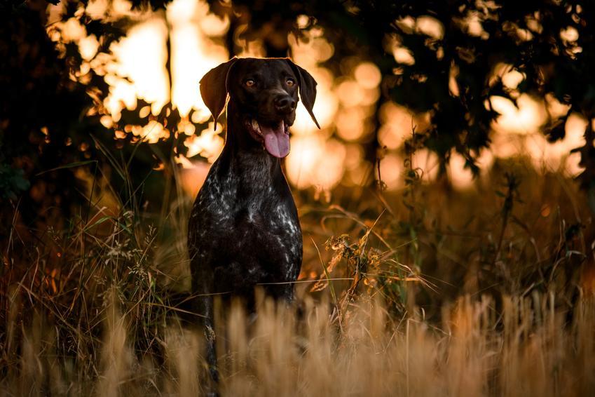 Pies rasy dog niemiecki podczas spaceru i inne znane największe rasy psów na świecie