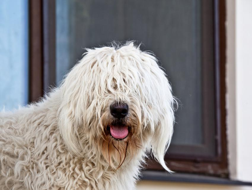 Pies rasy komondor z długimi dredami i inne znane największe rasy psów na świecie