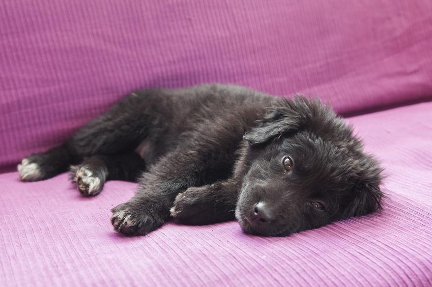 Pies rasy nowofunland na różowym tle i inne znane największe rasy psów na świecie