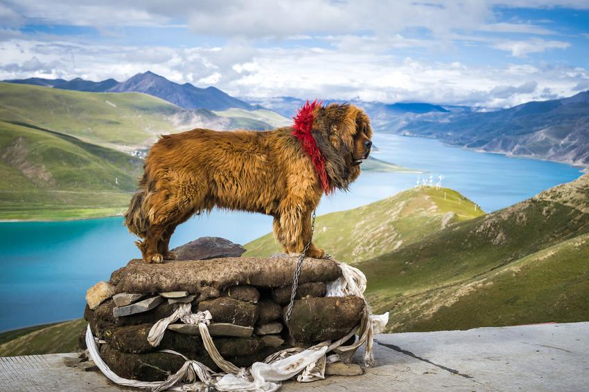 Pies rasy owczarek kaukaski i inne znane największe rasy psów na świecie