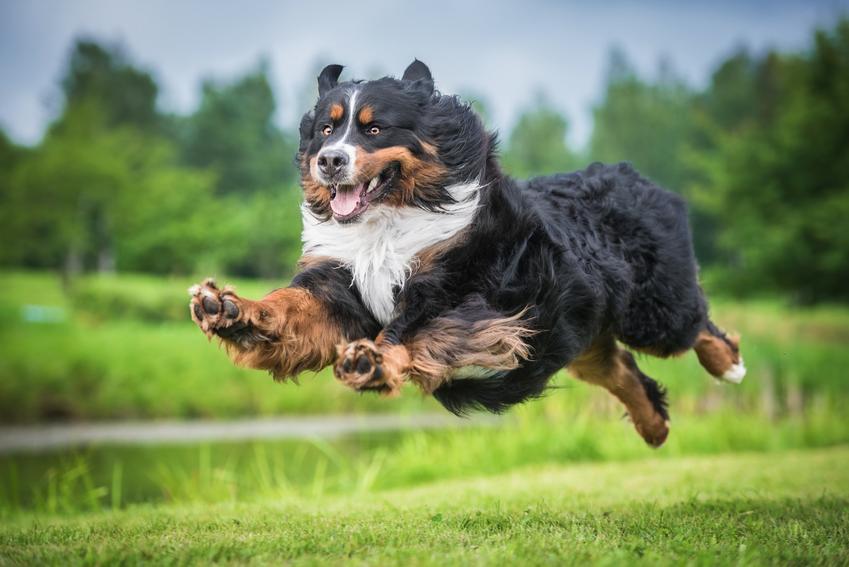 Pies rasy berneńczyk biegający podczas spaceru i inne znane największe rasy psów na świecie