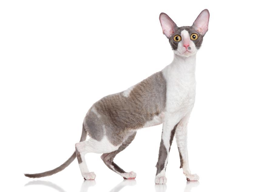 Kot rasy cornish rex na białym tle, a także jego hodowla, cena i charakter