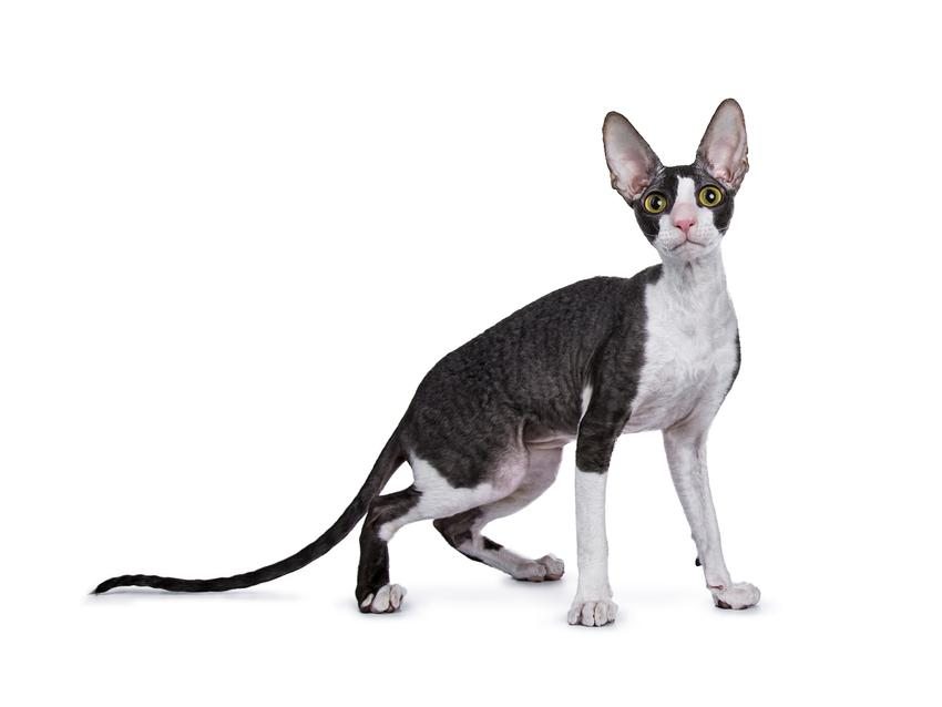 Kot rasy cornish rex na białym tle, a także cena cornish rex i hodowla