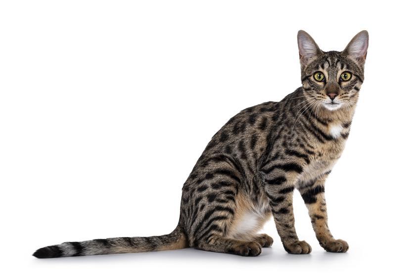 Kot savannah na białym tle, a także cena kociąt, hodowla i charakter kota