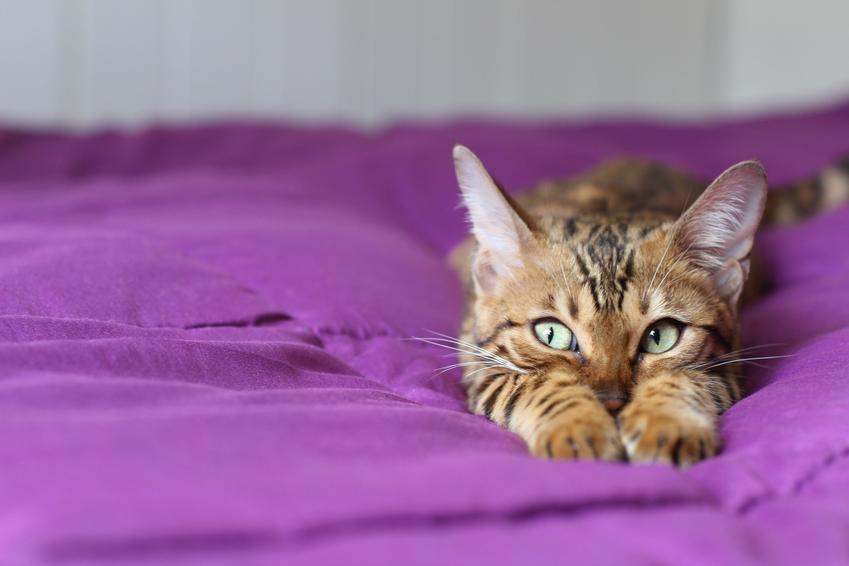 Kot Savannah na fioletowym kocu, a także hodowla i cena kota savannah w Polsce