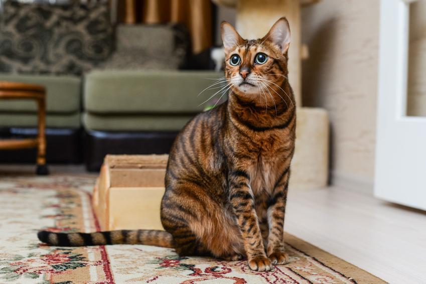 Kot rasy Savannah siedzący na podłodze, a także cena hodowla kota savannah w Polsce