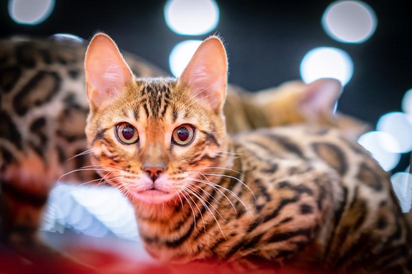 Kot rasy Savannah na tle świateł, a także cena hodowla kota savannah w Polsce