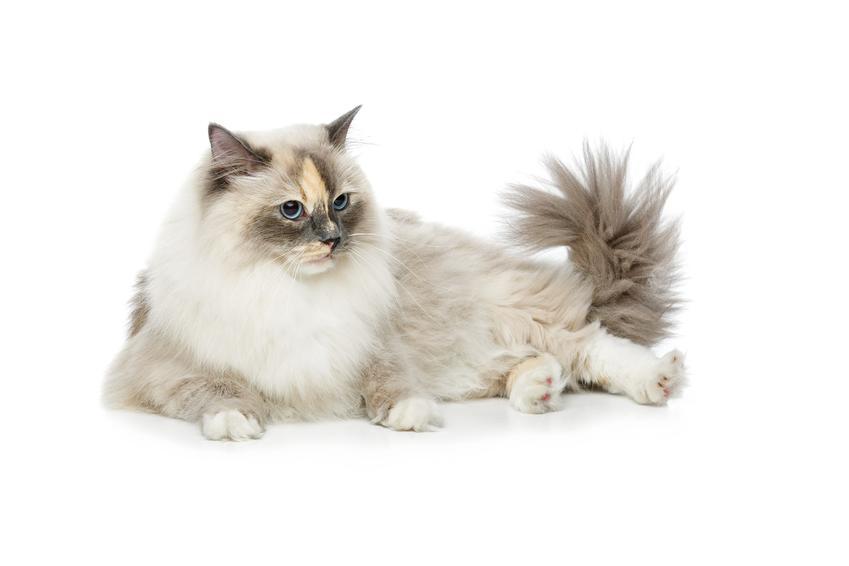 Kot birmański leżący na białym tle, a także jego hodowla, cena, charakter i usposobienie