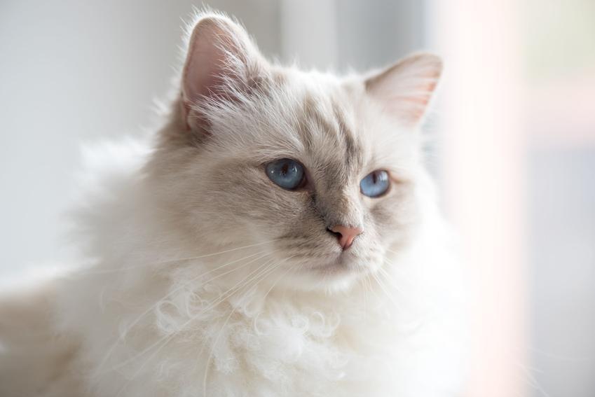 Kot birmański w domu na jasnym tle, a także jego charakter, cena, hodowla i opinie