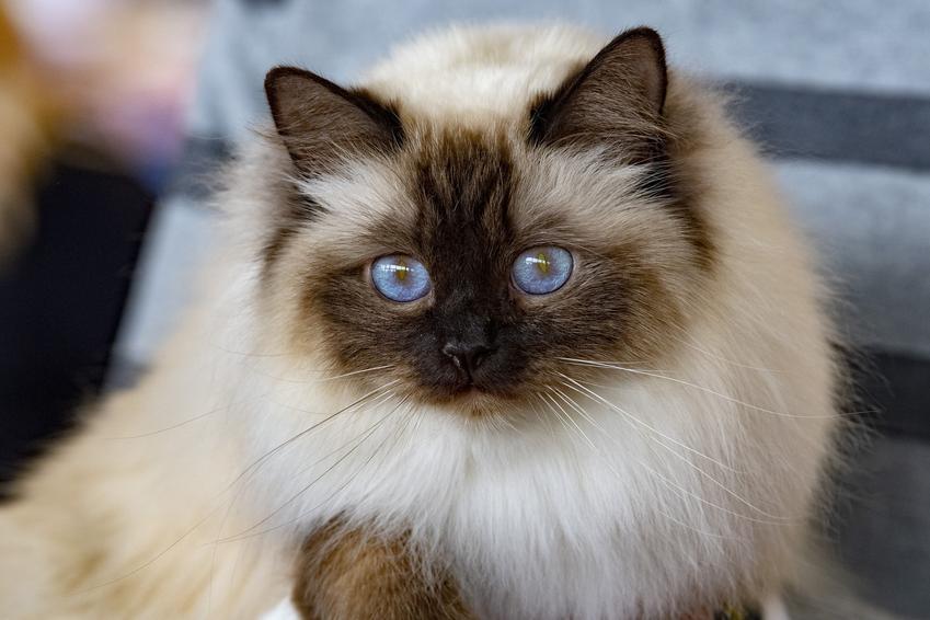 Kot birmański w domu, a także hodowla kota birmańskiego i cena za kocięta