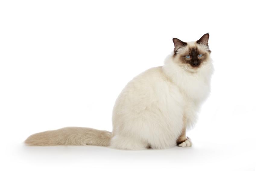 Kot savannah na białym tle, a także cena kociąt i hodowla kota birmańskiego