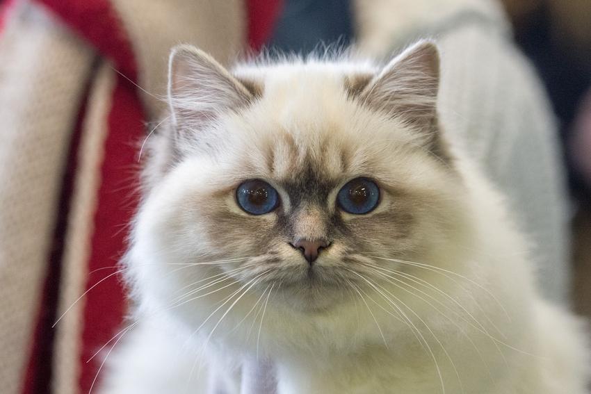 Święty kot birmański w domu, a także hodowla kota birmańskiego i cena za kocięta