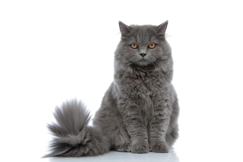 Kot angielski lub kot brytyjski na białym tle, a także charakter, hodowla i cena w Polsce