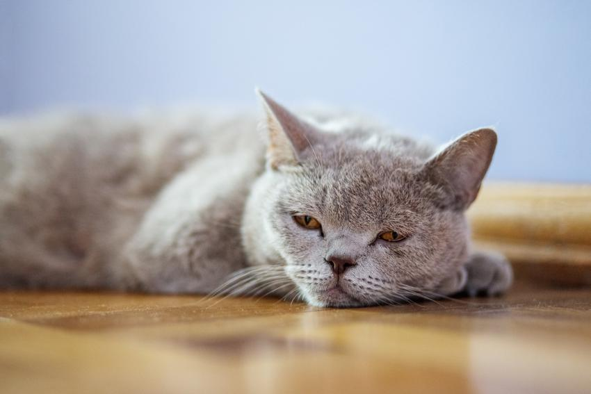 Kot brytyjski lub angielski leżący na podłodzie, a także jego hodowla i wychowanie krok po kroku