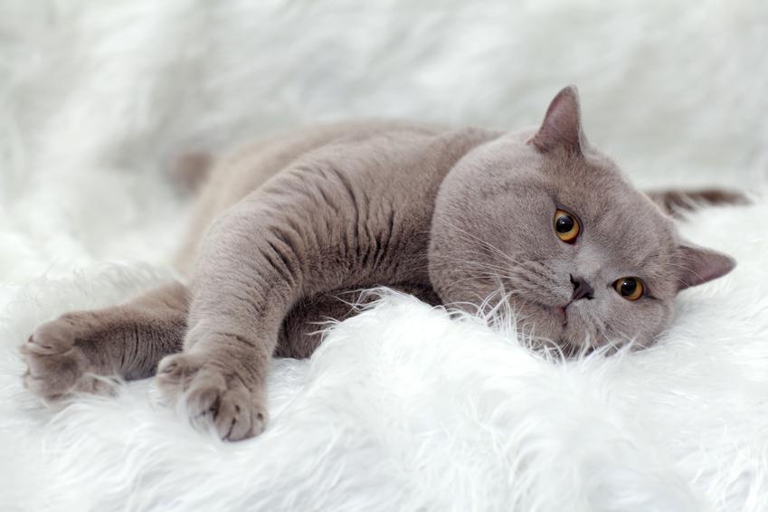 Niebieski kot angielski lub kot brytyjski na białym dywanie, a także charakter, hodowla i cena w Polsce