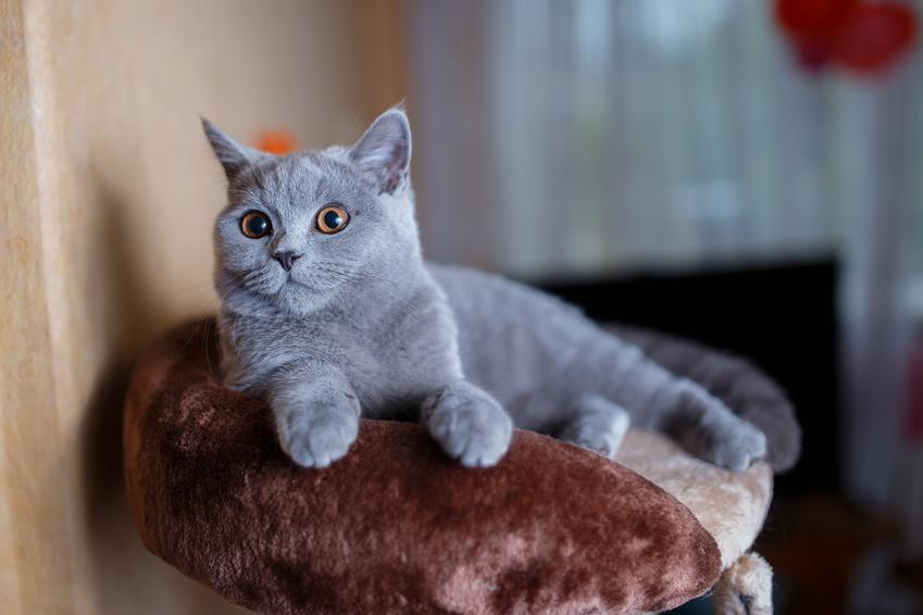 Kot brytyjski lub niebieski kot angielski leżący na sofie, a także jego hodowla i wychowanie krok po kroku