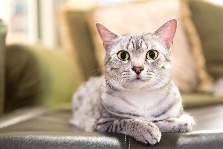 Kot egipski mau w domu, a także jego charakter, hodowla, usposobienie i cena