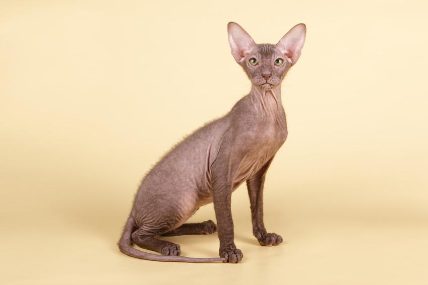 Kot sfinks lub kot peterbald na żółtym tle, a także jego cena, wychowanie, hodowla i opis