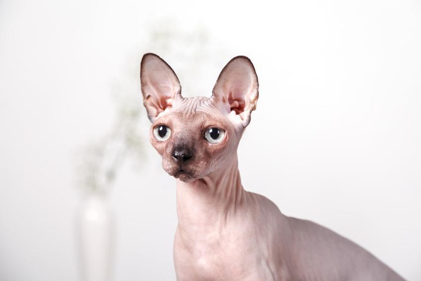 Kot peterbald lub kot pertersburski sfinks na białym tle, a także jego charakter i hodowla