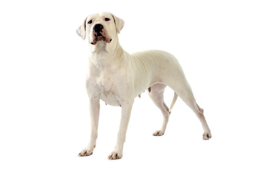 Pies rasy dog amerykański na białym tle oraz jego charakter, usposobienie i cena za szczeniaki