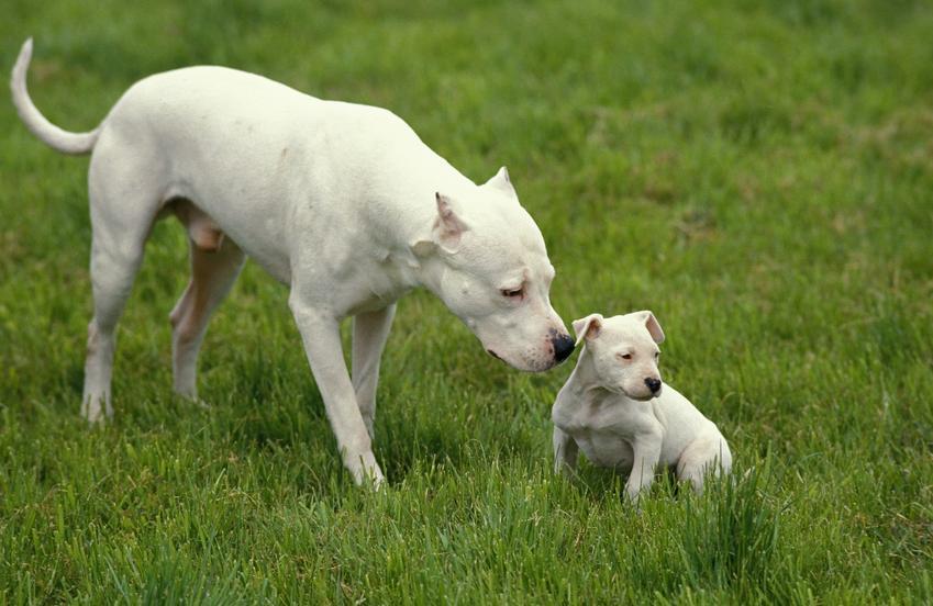 Pies rasy dog argentyński ze szczeniakiem na trawniku oraz cena doga argentyńskiego i hodowla