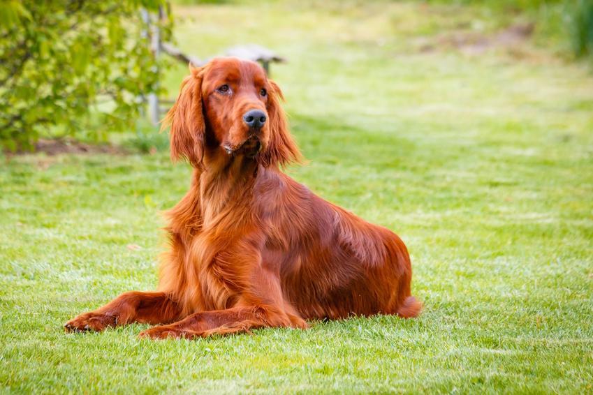 Pies rasy seter irlandzki leżący na trawniku, a także jego charakter, cena i hodowla