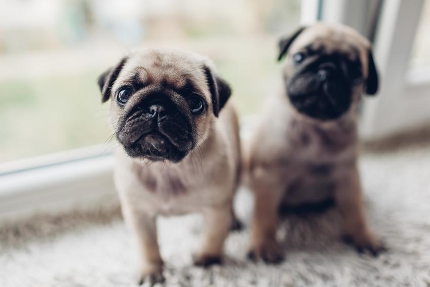 Małe psy na parapecie w domu, a także kojarzenie wsobne i kojarzenie krewniacze zwierząt