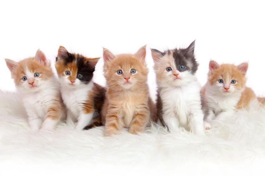 Małe kotki na białym tle, a także kojarzenie krewniacze i kojarzenie wsobne zwierząt krok po kroku