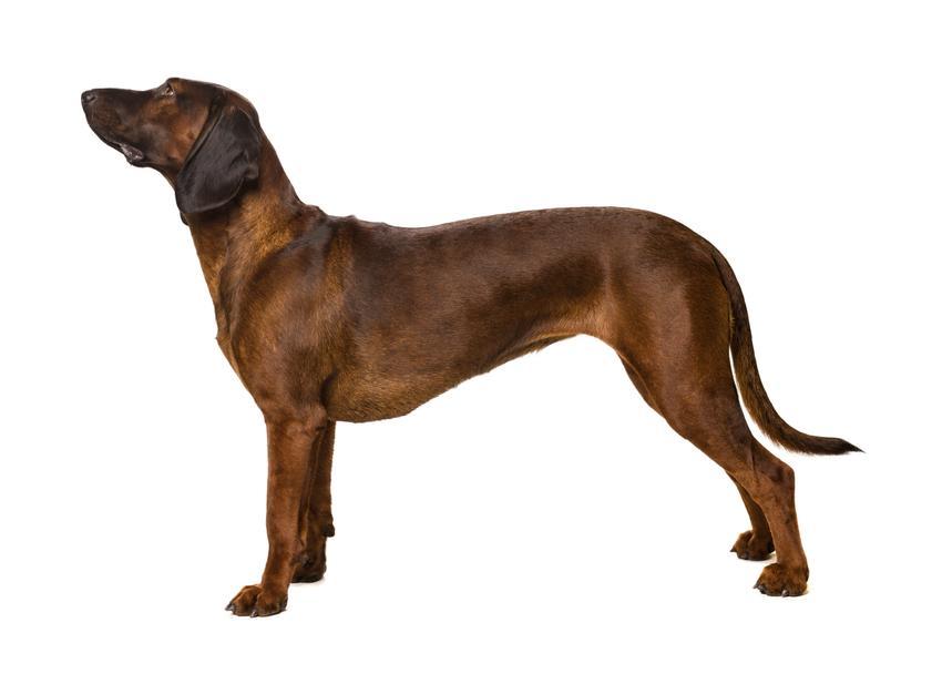 Pies rasy posokowiec bawarski na białym tle oraz jego hodowla, wychowanie, charakter i cena