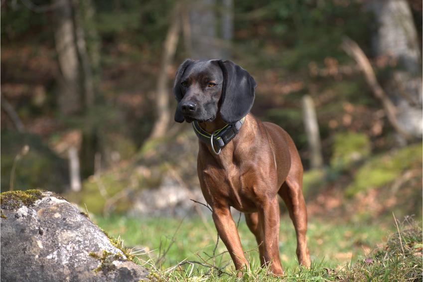 Pies rasy posokowiec bawarski podczas spaceru w lecie, a także jego charakter i hodowla