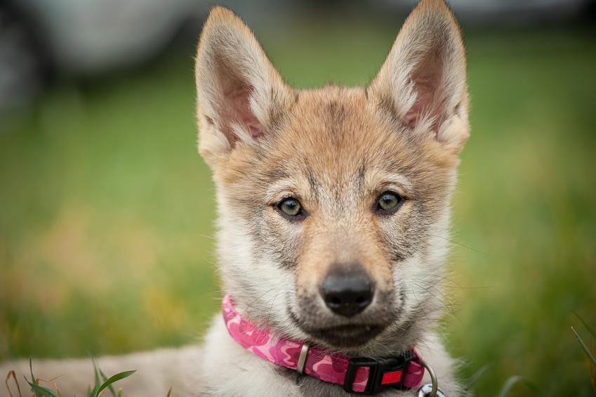 Pies rasy wilczak czechosłowacki na portrecie na tle zieleni, a także jego hodowla, charakter i usposobienie