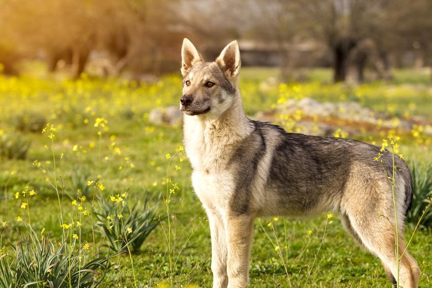 Pies rasy wilczak czechosłowacki na tle zieleni, a także jego charakter, cena i hodowla