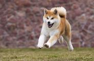 Charakter akity inu – poznaj usposobienie japońskiego psa