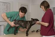 Dysplazja bioder u psa i kota - objawy, diagnostyka, leczenie, rokowania