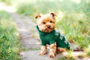 Sweter dla psa – rodzaje, ceny, opinie, samodzielne wykonanie