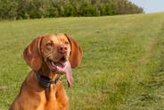Jak działa obroża antyszczekowa dla psa? Porady i opinie użytkowników