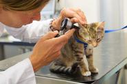 Parwowiroza u kota - przyczyny, objawy, sposoby leczenia, zapobieganie