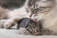 Poród kota krok po kroku – jak przebiega kocenie się kotki