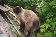 Jaki jest charakter kota syjamskiego? Poznaj usposobienie syjama