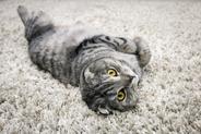 Jaka jest cena kota szkockiego? Zobacz, ile kosztuje kot z hodowli