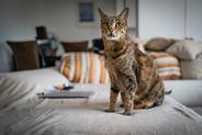 Jaka jest cena kota Savannah? Zobacz, ile kosztuje kociak z hodowli