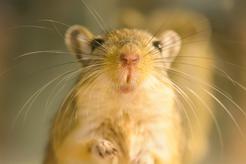 Jaka jest cena myszoskoczka? Zobacz, ile kosztuje ten niewielki gryzoń
