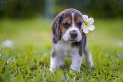Jak opiekować się szczeniakiem beagle? Sprawdź, co warto wiedzieć