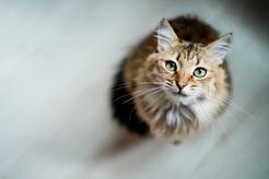 Ile zwykle żyją koty? Sprawdzamy różne rasy