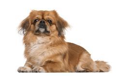 Ile żyją pekińczyki? Zobacz, jaka jest długość życia psa świątynnego