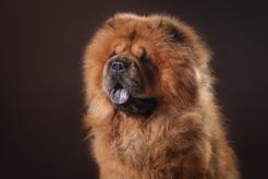 """""""Chau chau"""" - jaka rasa psa kryje się pod tą nazwą? Wyjaśniamy"""