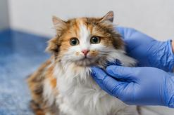 Jaka jest cena sterylizacji kotki? Sprawdzamy w gabinetach weterynaryjnych