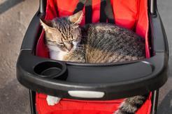 Wózek dla kota – hit czy kit? Zobacz, czy wózek sprawdzi się zamiast smyczy