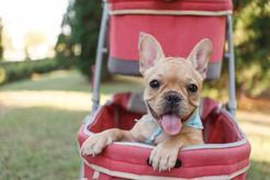 Chcesz kupić wózek dla psa? Zobacz, czy warto wozić psa na spacery